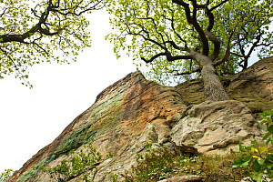 Oak (Quercus robur) growing on Triassic New Red Sandstone cliff of the Grinshill Sandstone, circa 250 million years old, Hawkstone Ridge, Hawkstone Follies, Shropshire, England, UK, May.  -  Will Watson