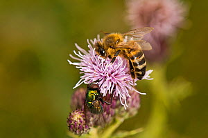 Honey bee (Apis mellifera) and Green bottle fly (blow fly), on thistle flower, Ceredigion, Wales, UK, August.  -  Will Watson