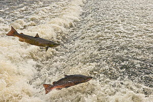 Atlantic salmon (Salmo salar) two leaping a weir, Shrewsbury, River Severn, Shropshire, England, UK. November. - Will Watson