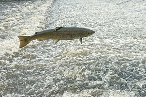 Atlantic salmon (Salmo salar) leaping a weir, Shrewsbury, River Severn, Shropshire, England, UK. November.  -  Will Watson