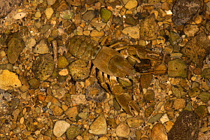 White clawed crayfish (Austropotamobius pallipes) on gravel bed of stream, north Herefordshire, England, UK, October.  -  Will Watson