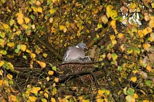 Wood pigeon (Columba palumbus) sitting on nest with two squabs / chicks, nest located in Downy Birch (Betula pubescens), Herefordshire, England, UK, October. - Will Watson