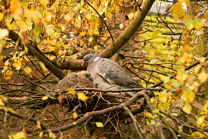 Wood pigeon (Columba palumbus) pair and squab / chick in nest, Downy birch (Betula pubescens), Herefordshire, England, UK, October. - Will Watson
