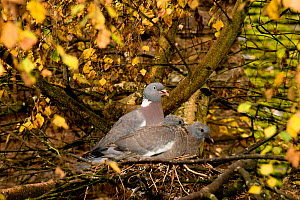 Wood pigeon (Columba palumbus) pair and squabs / chicks in nest, Downy birch (Betula pubescens), Herefordshire, England, UK, October. - Will Watson
