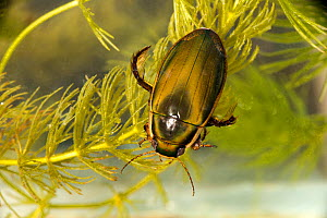 Black belly diving beetle (Dytiscus semmisulcatus), Cheshire, England, UK, July. Captive. - Will Watson