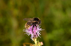 Field cuckoo bumblebee (Bombus campestris) on Creeping thistle (Cirsium arvense), Worcestershire, England, UK, August. - Will Watson