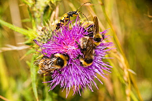 Three Field cuckoo bumblebees (Bombus campestris) and one Spotted longhorn beetle (Rutpela maculata) on Spear thistle (Cirsium vulgare), Ankerdine Common, Worcestershire, England, UK, July.  -  Will Watson