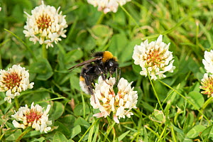Vestal cuckoo bumblebee (Bombus vestalis) feeding on White clover (Trifolium repens) on garden lawn, Herefordshire, England, UK, June. - Will Watson