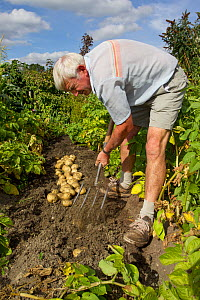 Gardener digging up his crop of new Rocket potatoes from a vegetable garden, Coleford, Gloucestershire, England, August 2011. Model release.  -  Brent  Stephenson