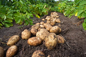 Crop of new freshly dug Rocket potatoes on the ground in a vegetable garden, Coleford, Gloucestershire, England, August.  -  Brent  Stephenson