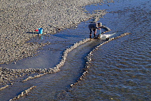 Fisherman using a hand-net to catch New Zealand whitebait, the juvenile form of five species of Galaxiidae fish, considered a delicacy, Tuki Tuki River, Hawkes Bay, New Zealand, September 2011.  -  Brent  Stephenson