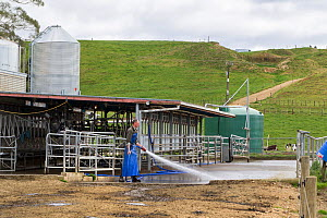 Dairy farmer washing down the dairy shed after milking, Ashley Clinton, Hawkes Bay, New Zealand, September, Model released.  -  Brent  Stephenson