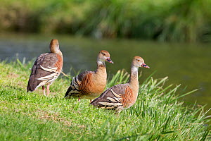 Three Plumed whistling ducks (Dendrocygna eytoni) on coast, Tamatea, Hawkes Bay, New Zealand, November.  -  Brent  Stephenson