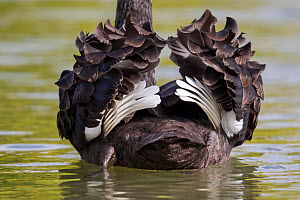 Rear view of Black swan (Cygnus atratus) on water ruffling its wings, showing the characteristic white flight feathers, Tamatea, Hawkes Bay, New Zealand, September.  -  Brent  Stephenson