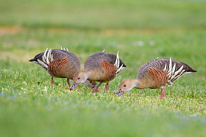 Three Plumed whistling ducks (Dendrocygna eytoni) feeding on short grass, Anderson Park, Tamatea, Napier, Hawkes Bay, New Zealand, September.  -  Brent  Stephenson
