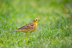 Male yellowhammer (Emberiza citrinella) feeding on grass seeds on a park lawn, Anderson Park, Tamatea, Napier, Hawkes Bay, New Zealand, September. Introduced species. - Brent  Stephenson