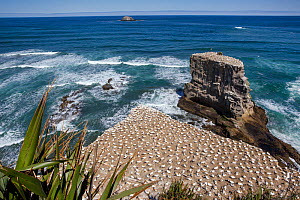 Australasian gannet (Morus serrator) colony on cliff tops, Muriwai, Muriwai Regional Park, Auckland, New Zealand, October 2011. - Brent  Stephenson