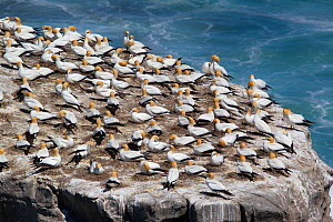 Australasian gannet (Morus serrator) nesting colony on top of a cliff, Muriwai, Muriwai Regional Park, Auckland, New Zealand, October 2011. - Brent  Stephenson