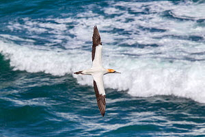 Australasian gannet (Morus serrator) flying with waves breaking below, Muriwai, Auckland, New Zealand, October. - Brent  Stephenson