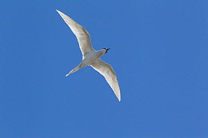 White fronted tern (Sterna striata) in flight against sky, Muriwai, Auckland, New Zealand, October. - Brent  Stephenson