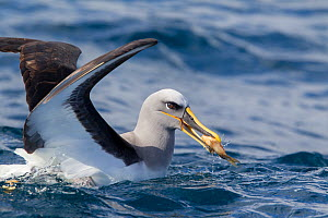 Buller's albatross (Thalassarche bulleri) with dead fish grabbed from sea surface behind a boat, off Whitianga, Coromandel, New Zealand, October.  -  Brent  Stephenson