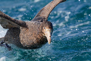 Northern giant petrel (Macronectes halli) taking off from water. Off Kaikoura, Canterbury, New Zealand, November.  -  Brent  Stephenson