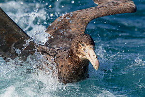 Northern giant petrel (Macronectes halli) moving through water, off Kaikoura, Canterbury, New Zealand, November.  -  Brent  Stephenson