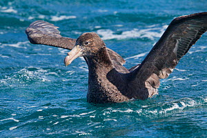 Northern giant petrel (Macronectes halli) with wings stretched on water, off Kaikoura, Canterbury, New Zealand, November.  -  Brent  Stephenson