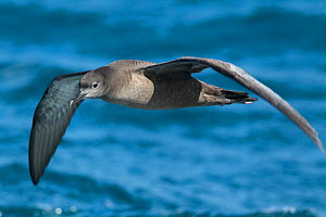 Sooty shearwater (Puffinus griseus) flying over sea, off Kaikoura, Canterbury, New Zealand, November.  -  Brent  Stephenson