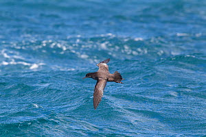 Sooty shearwater (Puffinus griseus) flying low over sea, off Kaikoura, Canterbury, New Zealand, November.  -  Brent  Stephenson