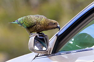 Kea (Nestor notabilis) standing on the wing mirror of a car looking through the partially open car window, Homer Tunnel, Fiordland, New Zealand, November, Vulnerable species.  -  Brent  Stephenson