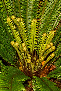 Crown fern (Blechnum discolor) with new unfurling fronds developing, Ulva Island, Stewart Island, New Zealand, November.  -  Brent  Stephenson