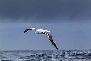 Southern royal albatross (Diomedea epomophora) flying over sea, Off Stewart Island, New Zealand, November, Vulnerable species.  -  Brent  Stephenson