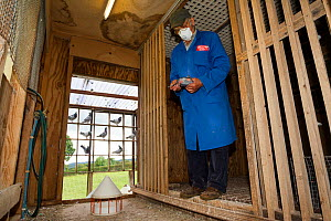 Pigeon fancier wearing a protective mask holding Racing pigeon (Columba livia) inside one of his pigeon lofts Redbrook, Monmouthshire, Wales, UK, August 2011. - Brent  Stephenson