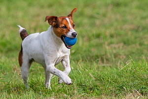 Young Jack Russell terrier running across a field carrying a blue ball in his mouth, Redbrook, Monmouthshire, Wales, UK, August. - Brent  Stephenson