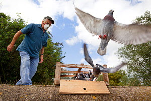 Pigeon fancier wearing a protective mask watching his Racing pigeons (Columba livia) flying out of a crate for a training flight back to their loft, Goldcliff, Monmouthshire, Wales, UK, August 2011. M... - Brent  Stephenson