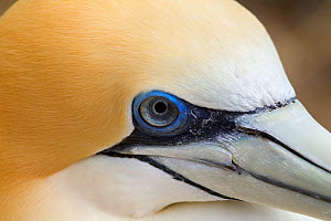 Australasian gannet (Morus serrator) close up showing the eye and base of the bill, Cape Kidnappers, Hawkes Bay, New Zealand, November.  -  Brent  Stephenson