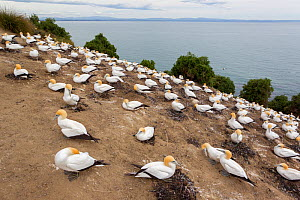 Part of the Black Reef Australasian gannet (Morus serrator) breeding colony, Cape Kidnappers, Hawkes Bay, New Zealand, November.  -  Brent  Stephenson