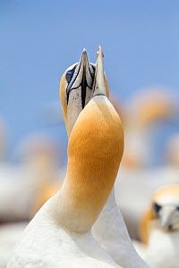 Australasian gannet (Morus serrator) pair crossing bills as they display to each other at their nest site, Cape Kidnappers, Hawkes Bay, New Zealand, November.  -  Brent  Stephenson