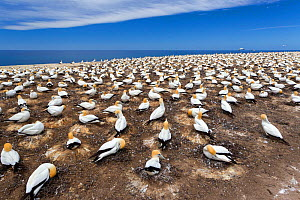 Australasian gannet (Morus serrator) breeding colony known as the Plateau colony, Cape Kidnappers, Hawkes Bay, New Zealand, November.  -  Brent  Stephenson