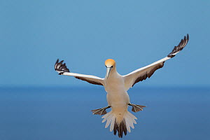 Australasian gannet (Morus serrator) landing, Cape Kidnappers, Hawkes Bay, New Zealand, November.  -  Brent  Stephenson