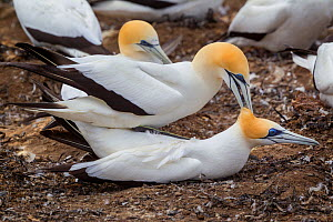 Australasian gannet (Morus serrator) pair mating at their nest site, Cape Kidnappers, Hawkes Bay, New Zealand, November.  -  Brent  Stephenson