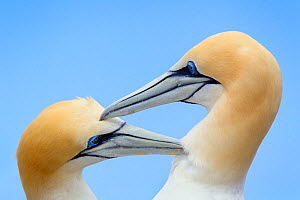 Australasian gannet (Morus serrator) pair mutually preening during courtship at their nest site, Cape Kidnappers, Hawkes Bay, New Zealand, November.  -  Brent  Stephenson
