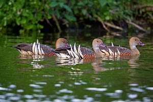 Three Plumed whistling ducks (Dendrocygna eytoni) swimming across the surface of a small pond, Tamatea, Hawkes Bay, New Zealand, November.  -  Brent  Stephenson