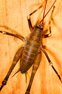 Male Cave weta (Pachyrhamma sp) close up, viewed from above, Boundary Stream, Hawkes Bay, New Zealand, November.  -  Brent  Stephenson
