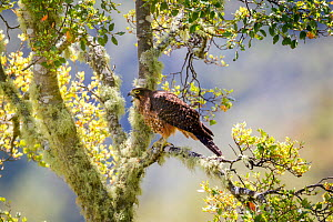 Female New Zealand falcon (Falco novaeseelandiae) calling, perched on a lichen covered branch, Boundary Stream, Hawkes Bay, New Zealand, November. - Brent  Stephenson