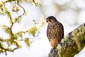 Male New Zealand falcon (Falco novaeseelandiae) perched on  lichen covered branch, Boundary Stream, Hawkes Bay, New Zealand, November. - Brent  Stephenson