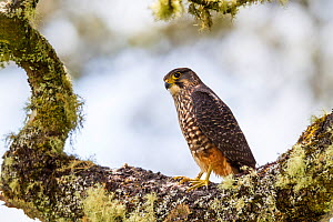 Male New Zealand falcon (Falco novaeseelandiae) standing on lichen covered branch, Boundary Stream, Hawkes Bay, New Zealand, November. - Brent  Stephenson
