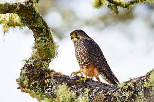 Male New Zealand falcon (Falco novaeseelandiae) on lichen covered branch, Boundary Stream, Hawkes Bay, New Zealand, November. - Brent  Stephenson