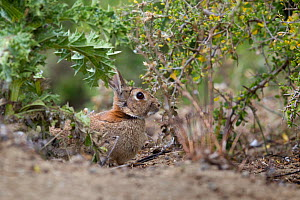European rabbit (Oryctolagus cuniculus) in vegetation, Cape Kidnappers, Hawkes Bay, New Zealand, November. Introduced species.  -  Brent  Stephenson